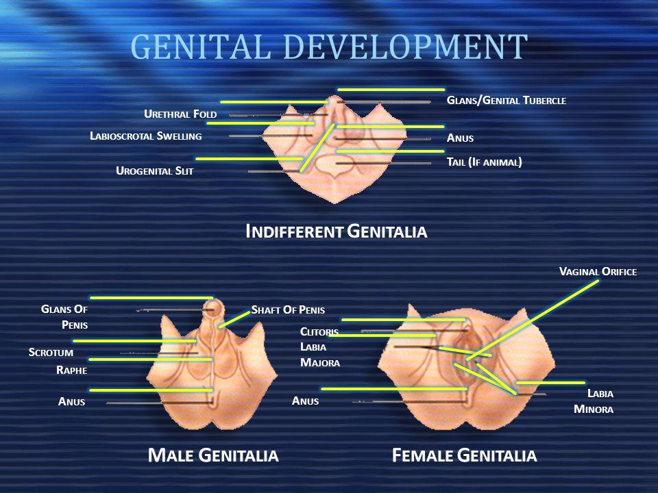 Indifferent Genitalia