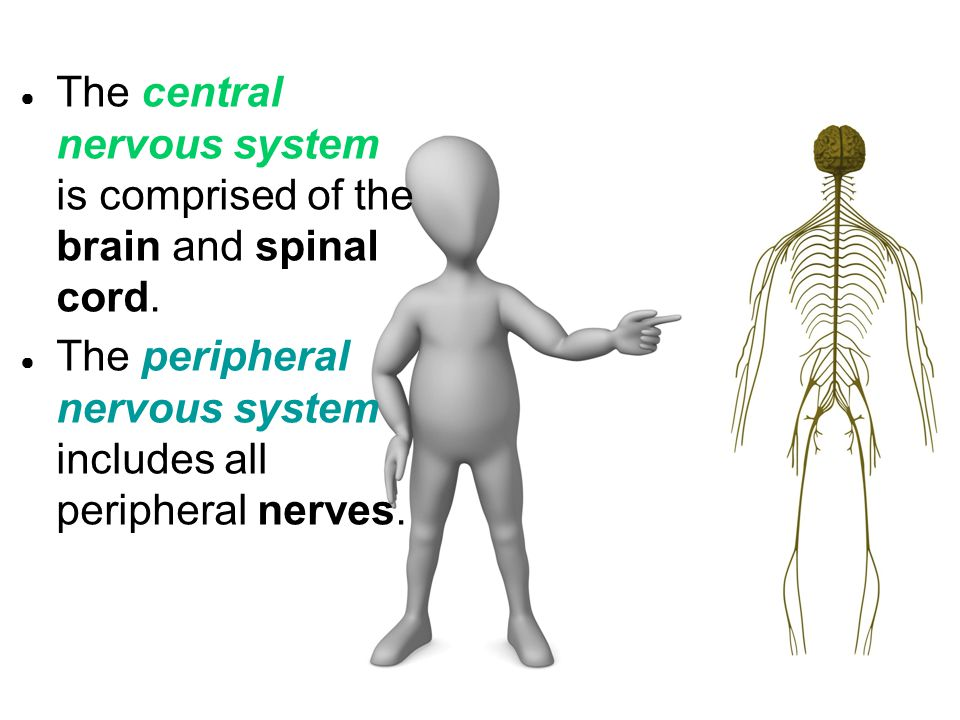 The central nervous system is comprised of the brain and spinal cord.