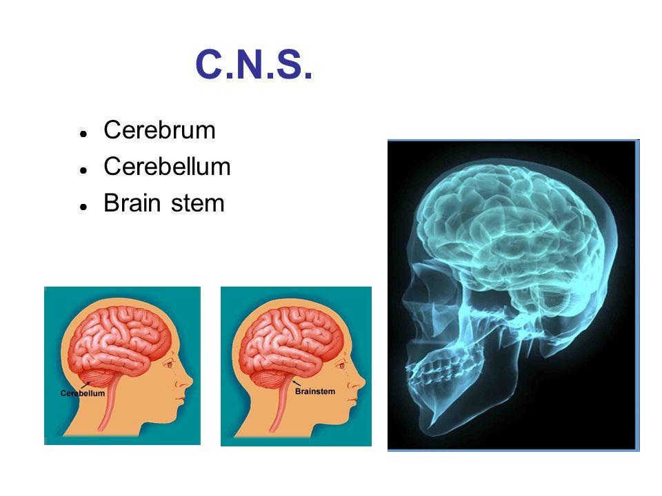 C.N.S. Cerebrum Cerebellum Brain stem