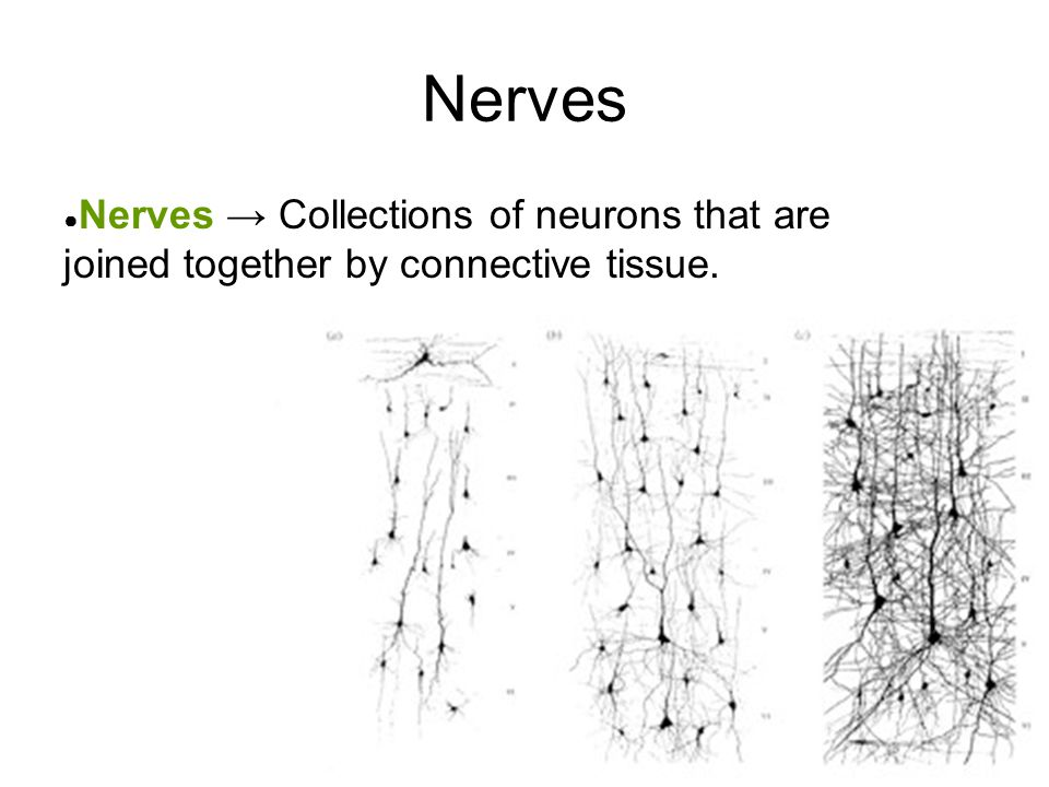 Nerves Nerves → Collections of neurons that are joined together by connective tissue.