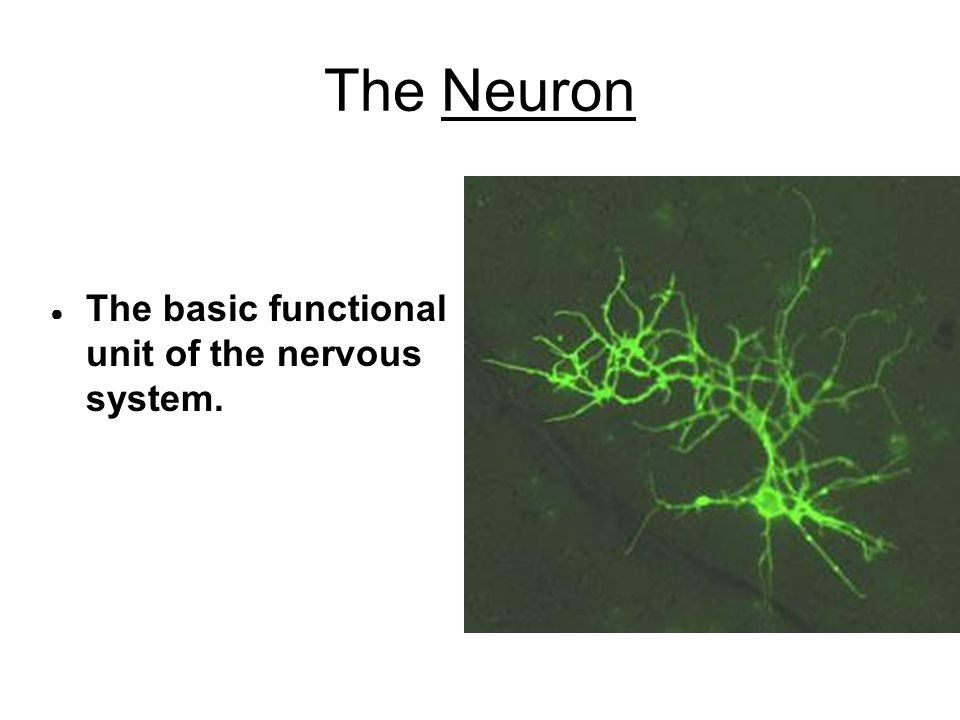 The Neuron The basic functional unit of the nervous system.