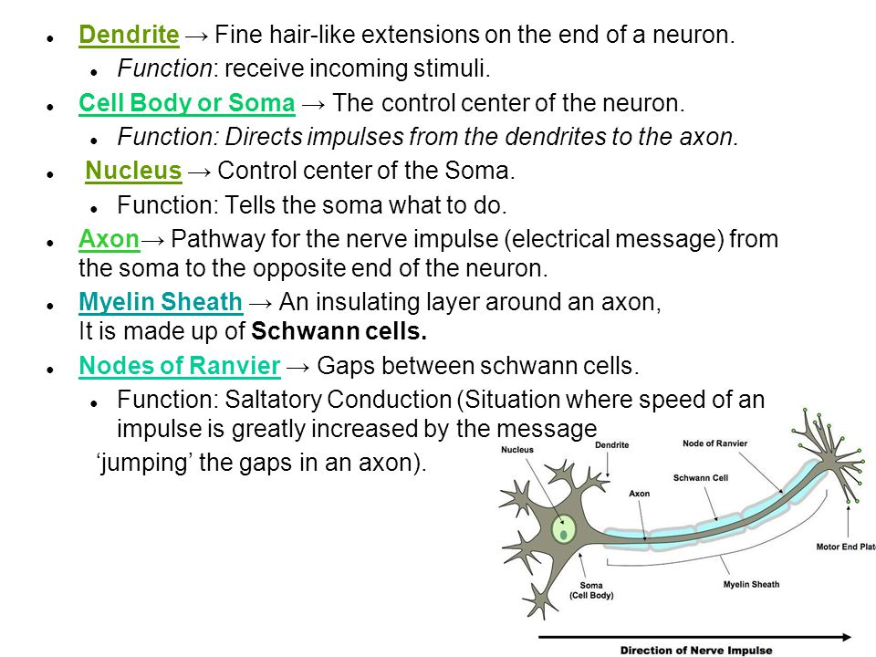 Dendrite → Fine hair-like extensions on the end of a neuron.
