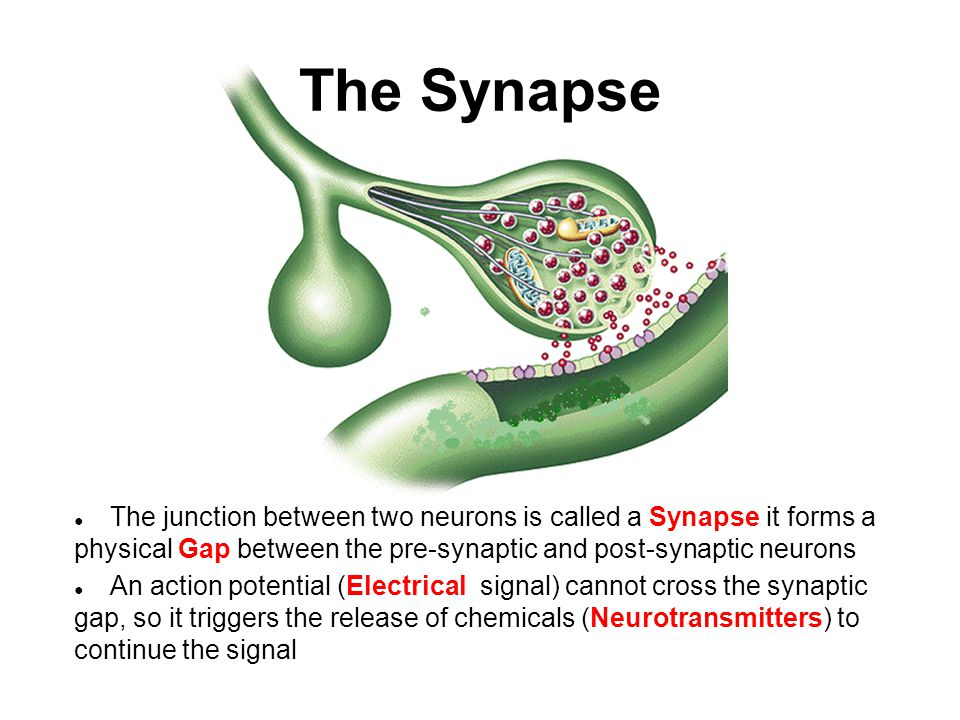 The Synapse The junction between two neurons is called a Synapse it forms a physical Gap between the pre-synaptic and post-synaptic neurons.