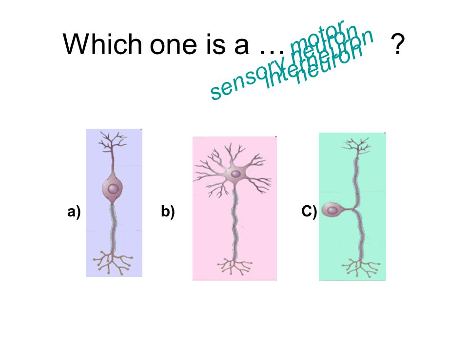 Which one is a … motor neuron interneuron sensory neuron a) b) C)