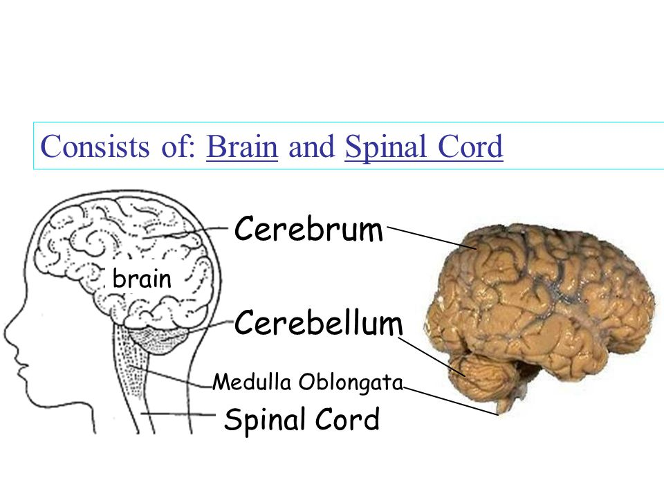 Consists of: Brain and Spinal Cord