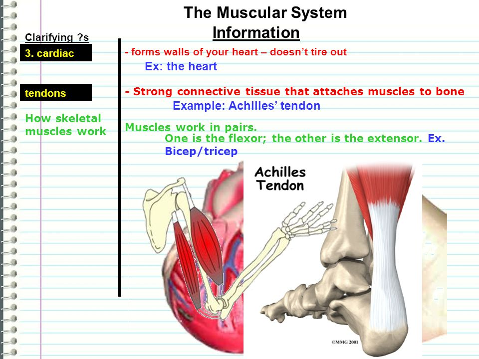 The Muscular System Information Ex: the heart