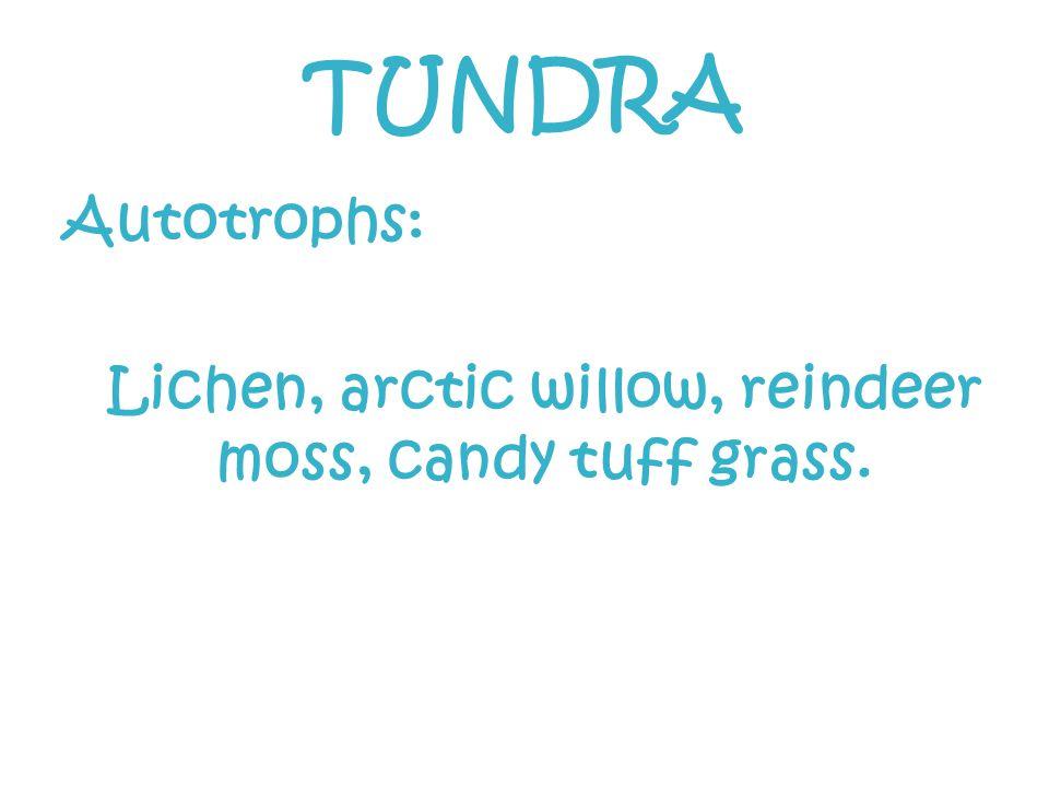 Lichen, arctic willow, reindeer moss, candy tuff grass.