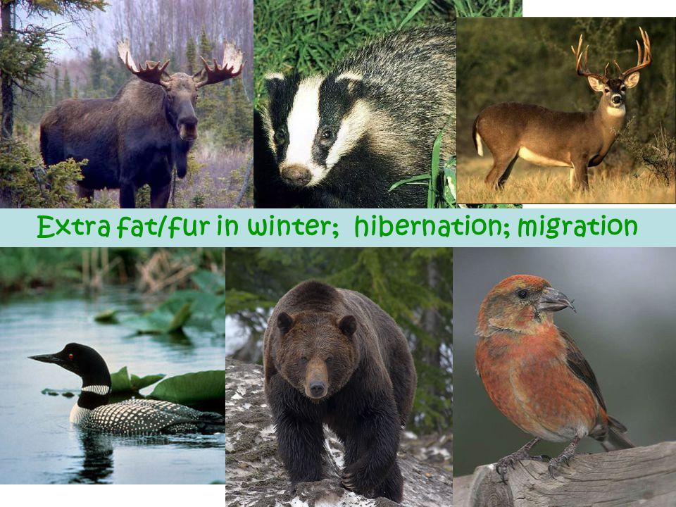 Extra fat/fur in winter; hibernation; migration