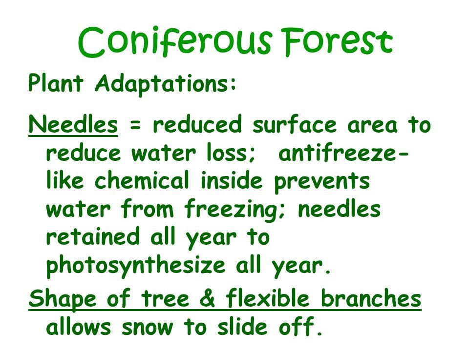 Coniferous Forest Plant Adaptations: