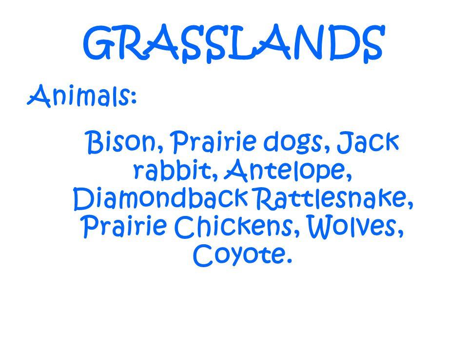 GRASSLANDS Animals: Bison, Prairie dogs, Jack rabbit, Antelope, Diamondback Rattlesnake, Prairie Chickens, Wolves, Coyote.