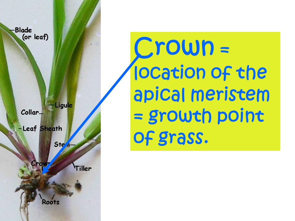 Crown = location of the apical meristem = growth point of grass.