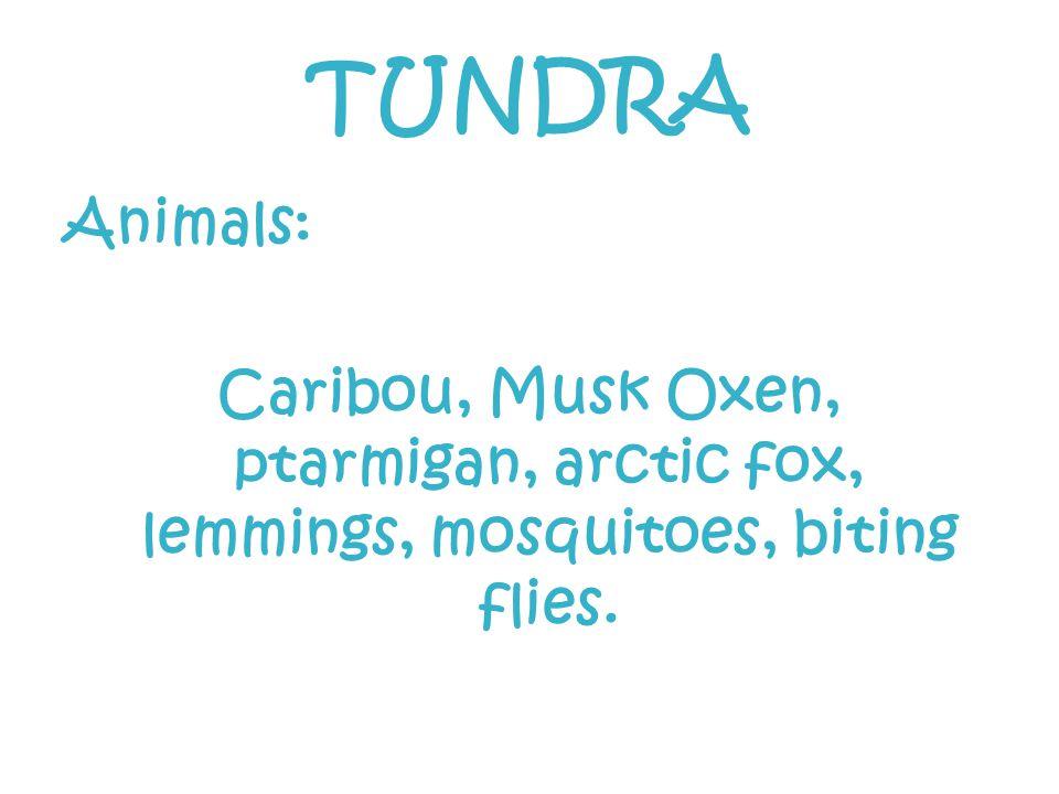 TUNDRA Animals: Caribou, Musk Oxen, ptarmigan, arctic fox, lemmings, mosquitoes, biting flies.
