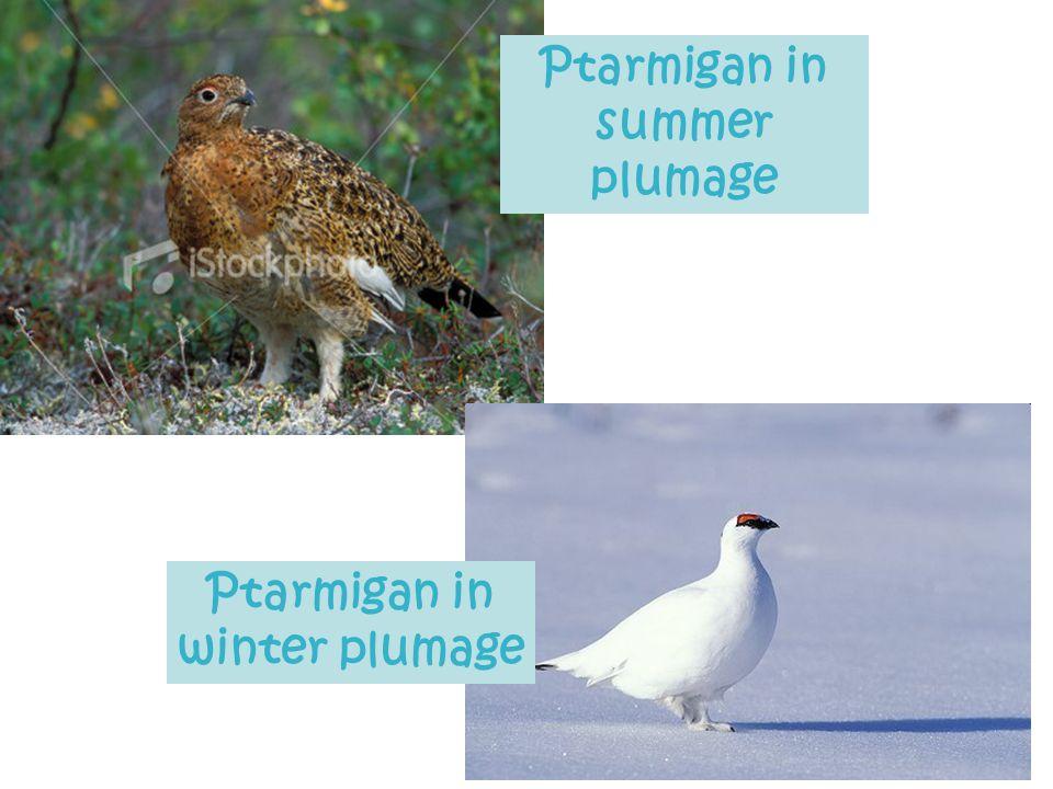 Ptarmigan in summer plumage Ptarmigan in winter plumage