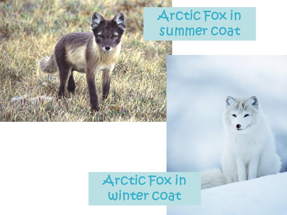 Arctic Fox in summer coat Arctic Fox in winter coat