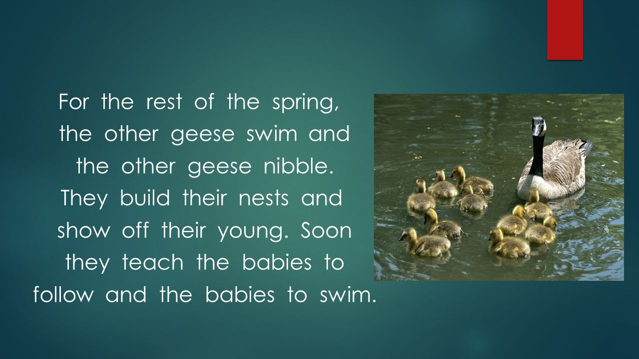 For the rest of the spring, the other geese swim and the other geese nibble.