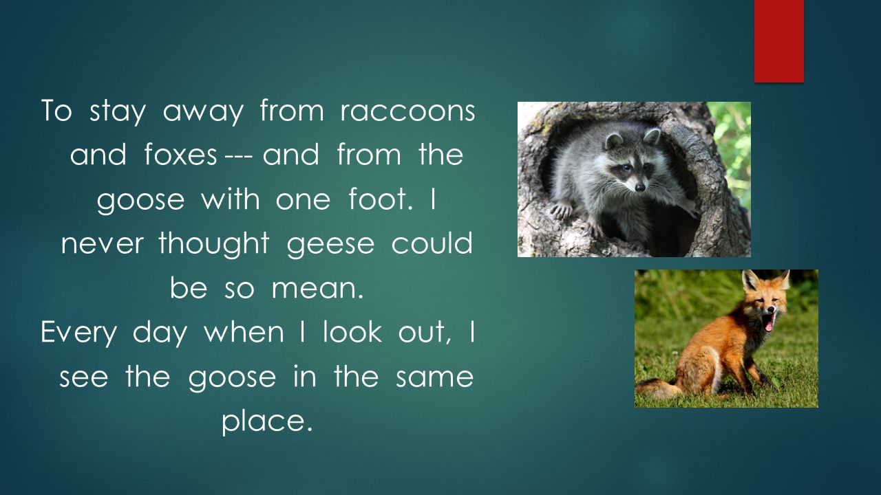 To stay away from raccoons and foxes --- and from the goose with one foot.