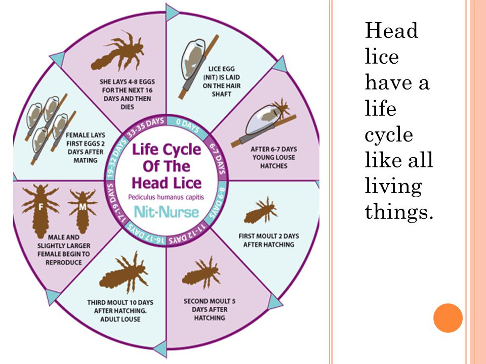 Head lice have a life cycle like all living things.