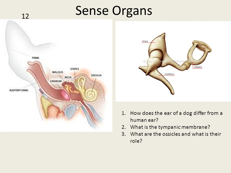 Sense Organs 12 How does the ear of a dog differ from a human ear