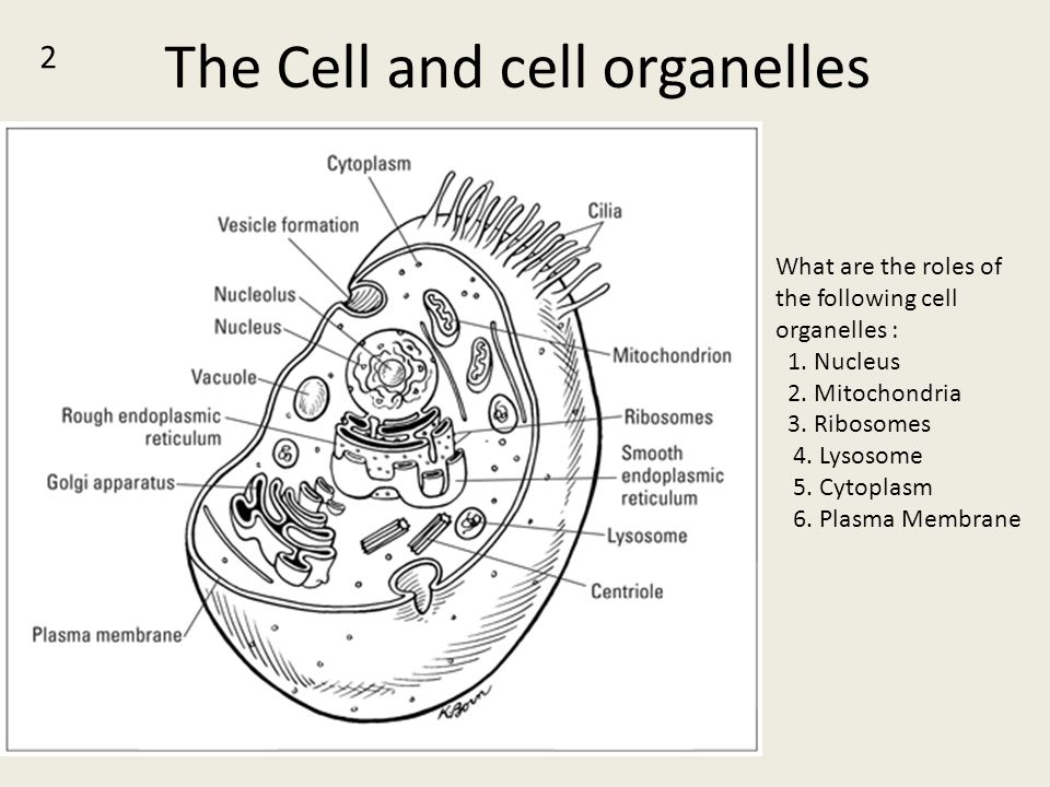 The Cell and cell organelles