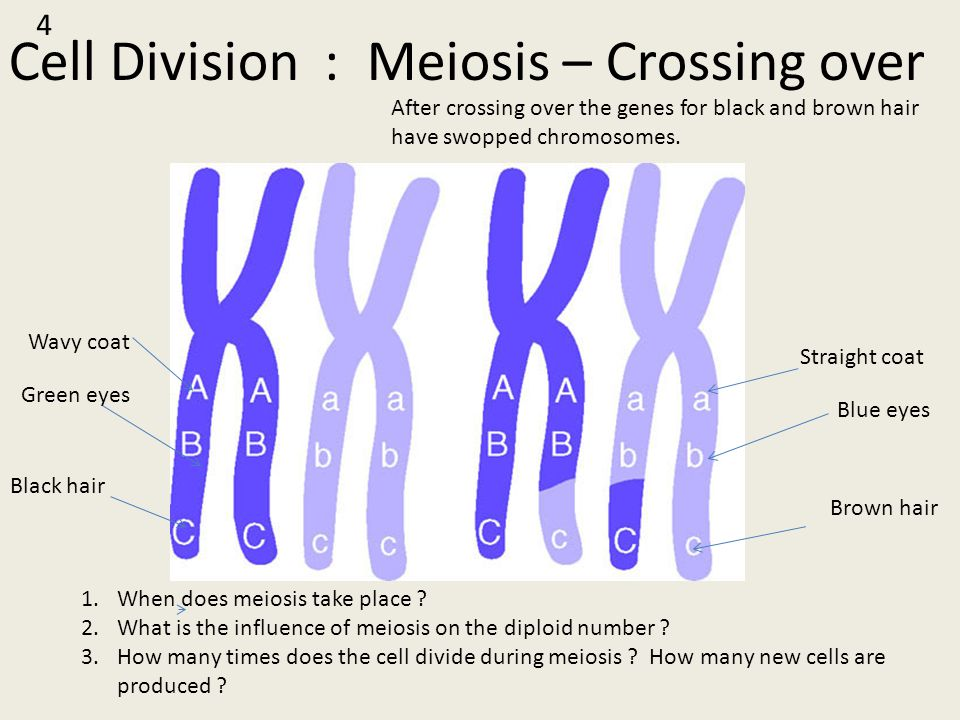 Cell Division : Meiosis – Crossing over