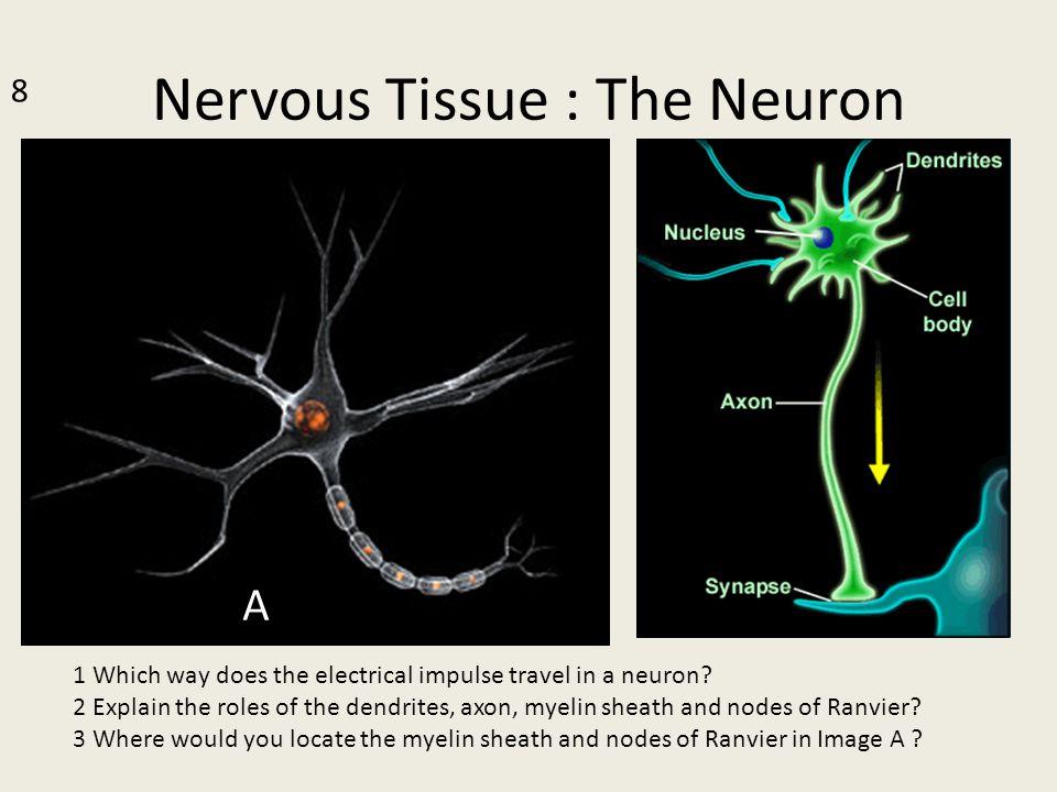 Nervous Tissue : The Neuron