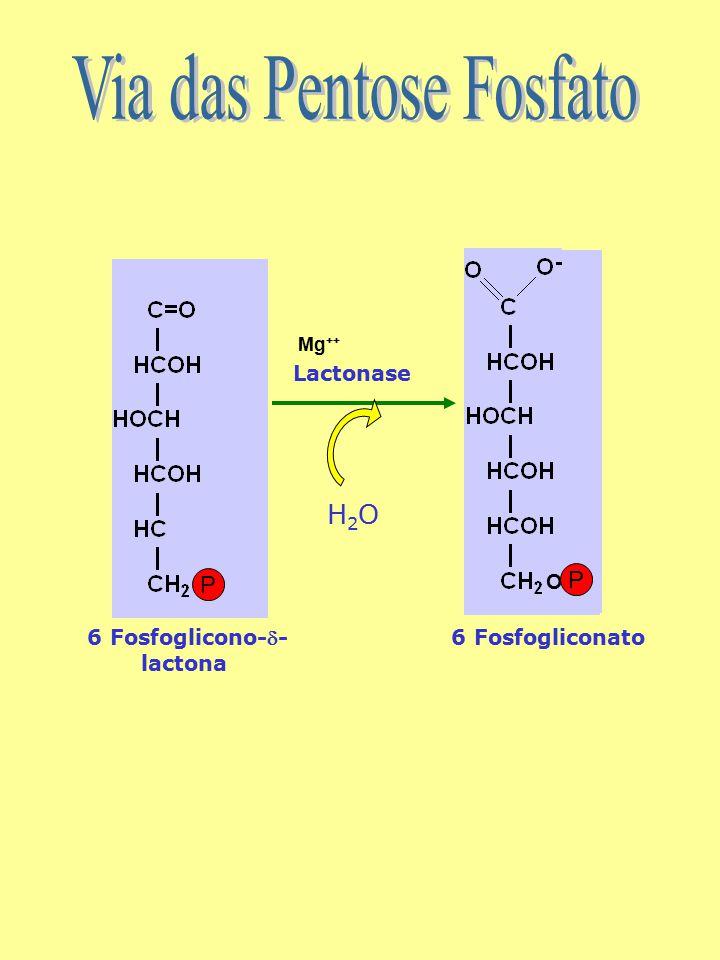 6 Fosfoglicono-- lactona