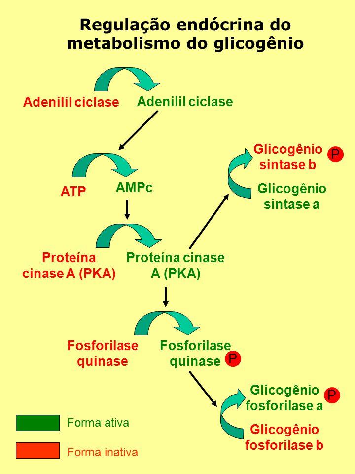 Regulação endócrina do metabolismo do glicogênio