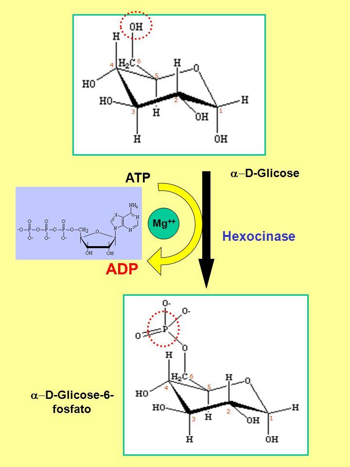 a-D-Glicose-6- fosfato