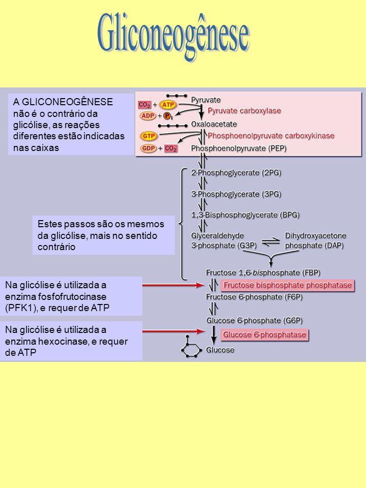 Gliconeogênese A GLICONEOGÊNESE não é o contrário da glicólise, as reações diferentes estão indicadas nas caixas.