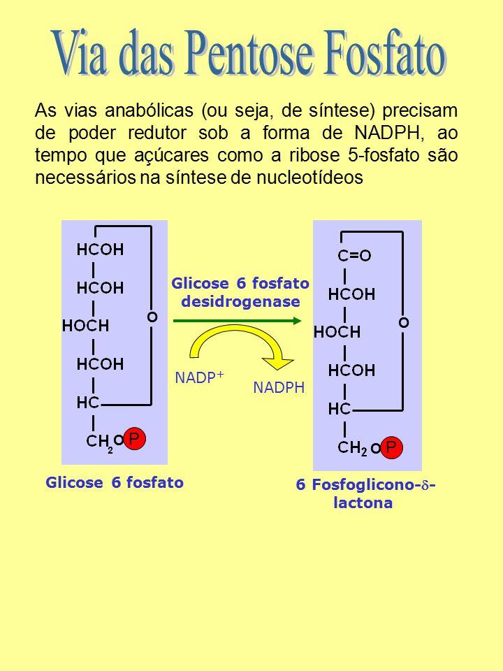 Glicose 6 fosfato desidrogenase 6 Fosfoglicono-- lactona