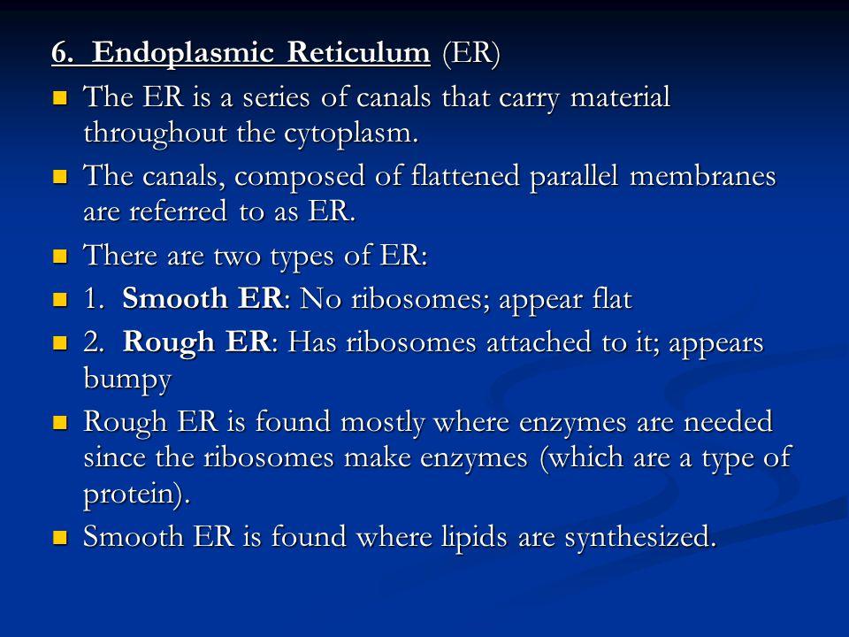 6. Endoplasmic Reticulum (ER)