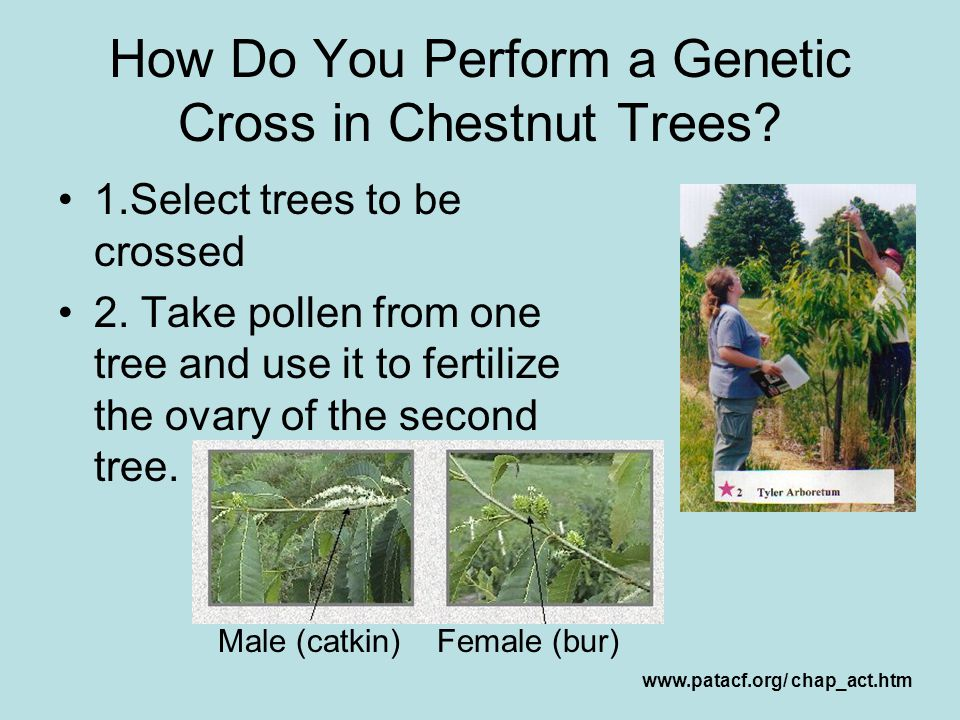 How Do You Perform a Genetic Cross in Chestnut Trees