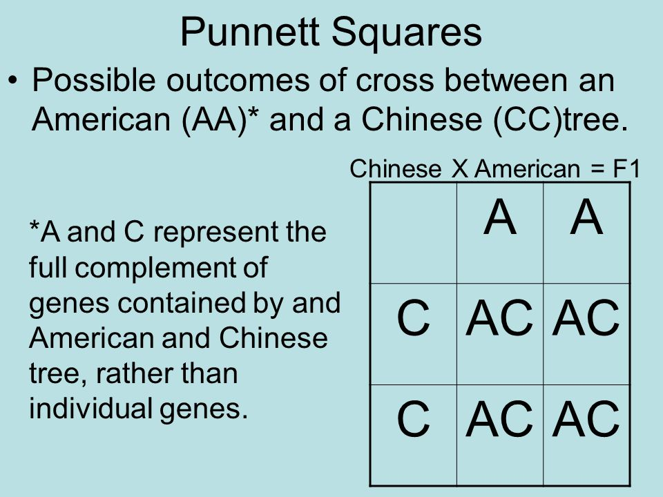 Punnett Squares Possible outcomes of cross between an American (AA)* and a Chinese (CC)tree. Chinese X American = F1.