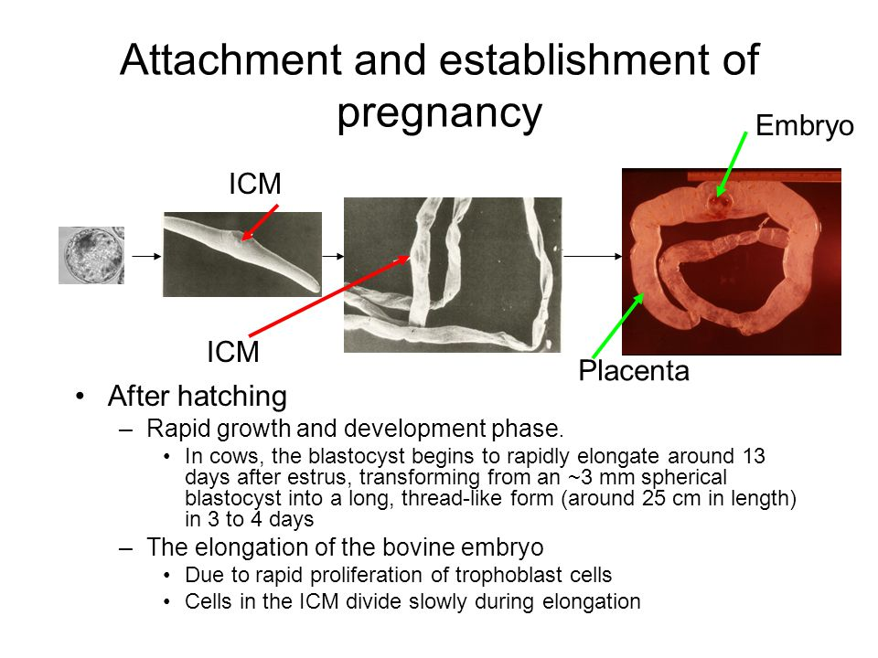 Attachment and establishment of pregnancy