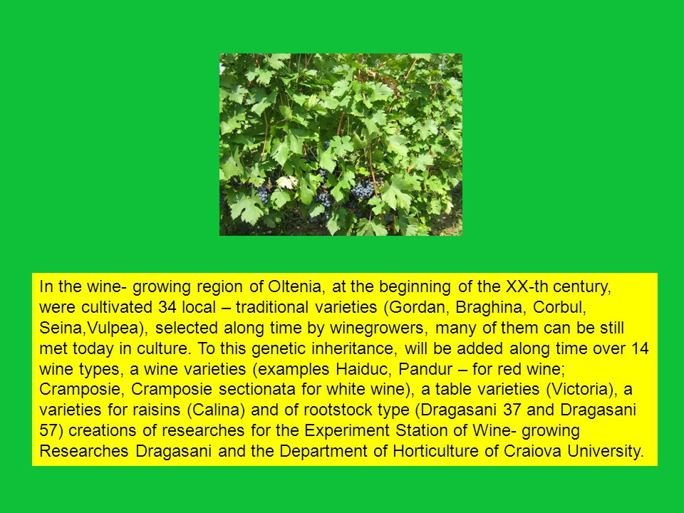 In the wine- growing region of Oltenia, at the beginning of the XX-th century, were cultivated 34 local – traditional varieties (Gordan, Braghina, Corbul, Seina,Vulpea), selected along time by winegrowers, many of them can be still met today in culture.