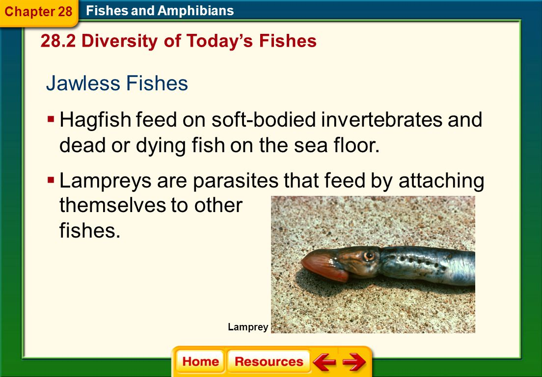Lampreys are parasites that feed by attaching themselves to other