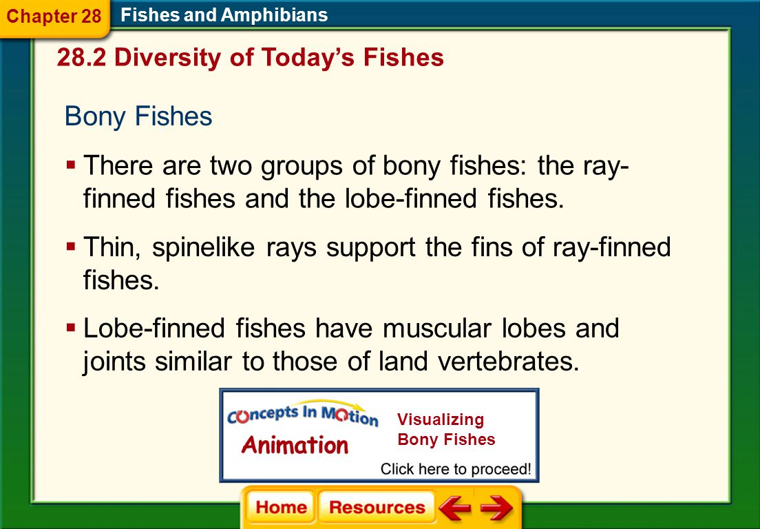 Thin, spinelike rays support the fins of ray-finned fishes.