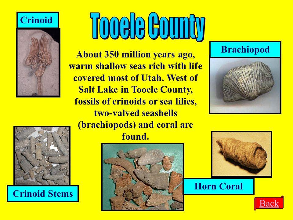 Tooele County Crinoid Brachiopod