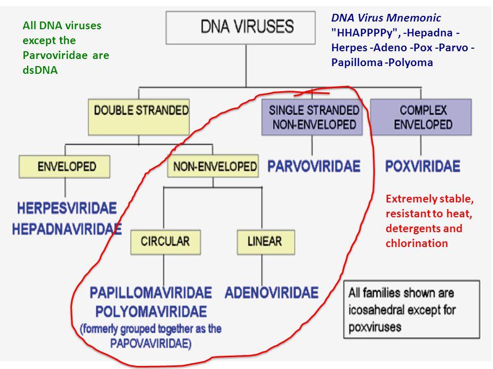 All DNA viruses except the Parvoviridae are dsDNA