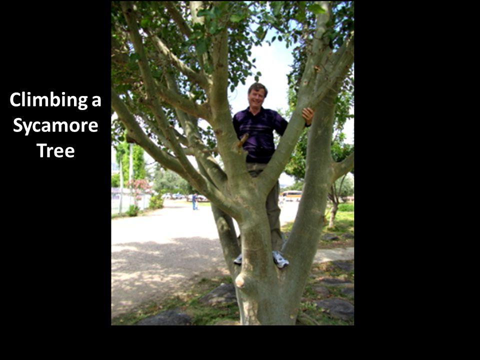 Climbing a Sycamore Tree