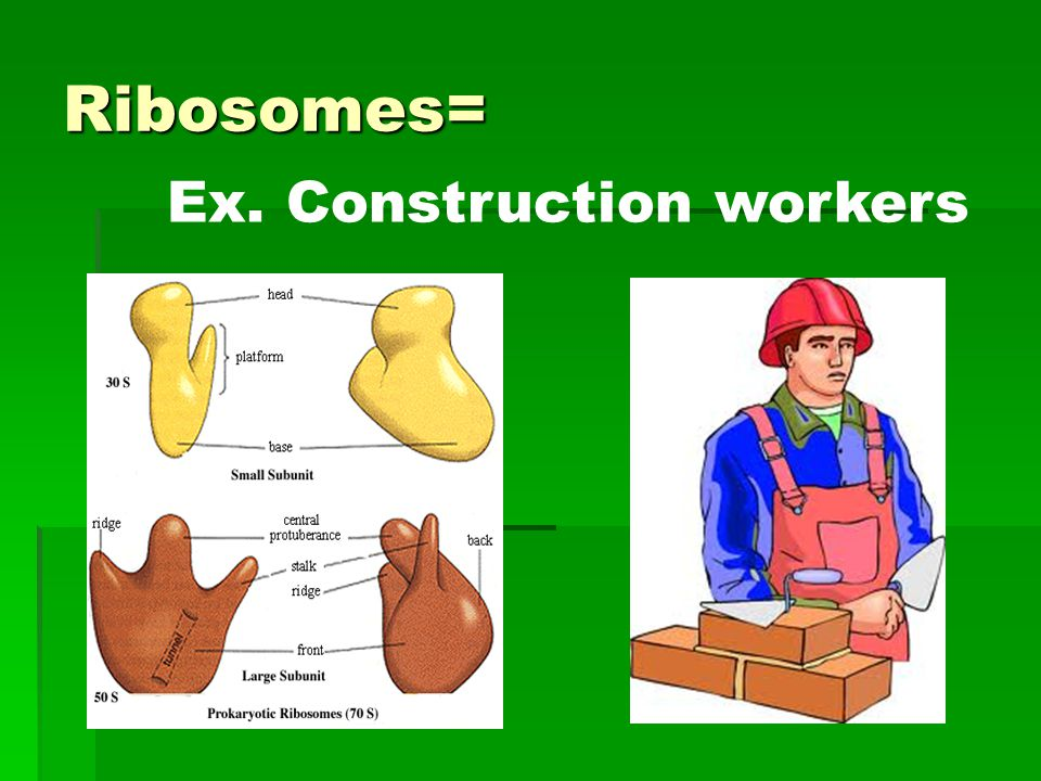 Ribosomes= Ex. Construction workers