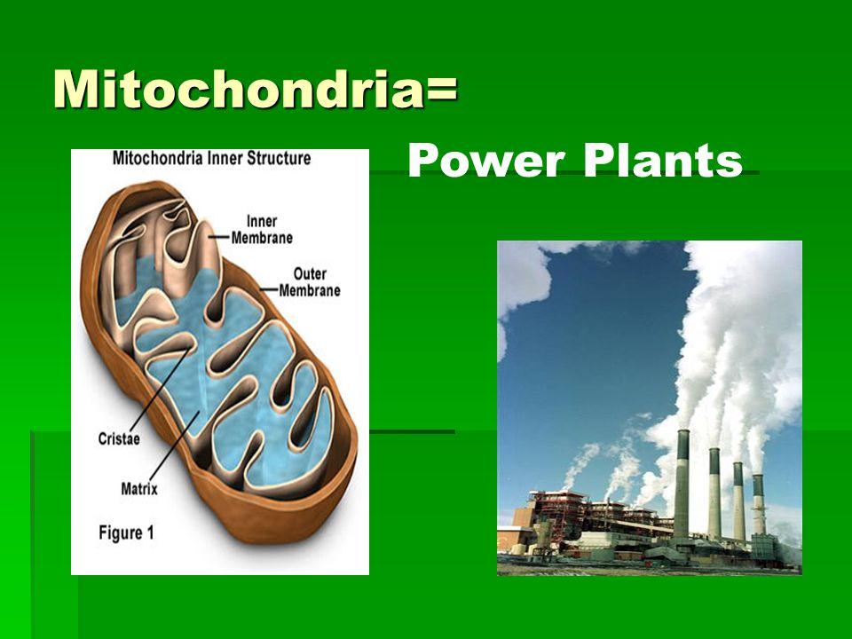 Mitochondria= Power Plants