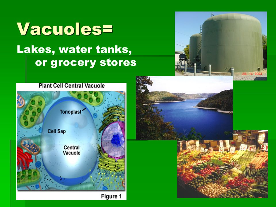 Vacuoles= Lakes, water tanks, or grocery stores