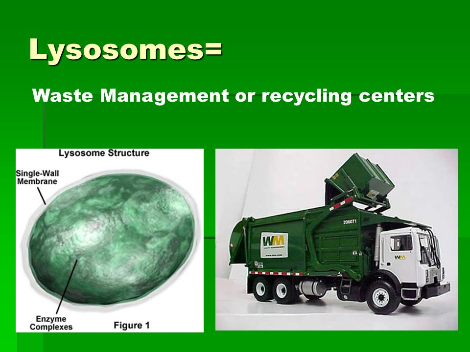 Lysosomes= Waste Management or recycling centers