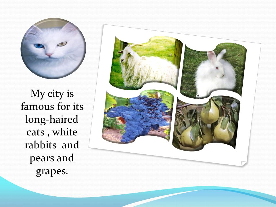 My city is famous for its long-haired cats , white rabbits and pears and grapes.