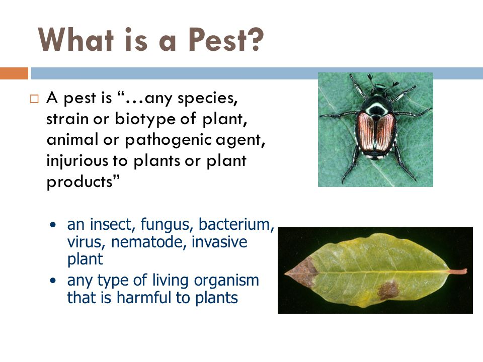 What is a Pest A pest is …any species, strain or biotype of plant, animal or pathogenic agent, injurious to plants or plant products