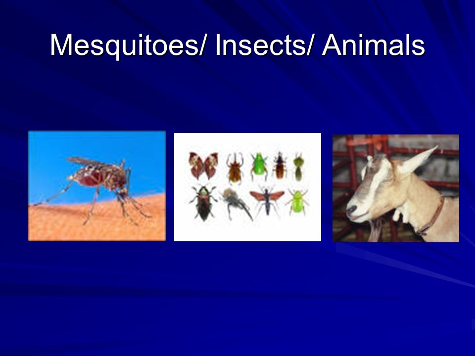 Mesquitoes/ Insects/ Animals
