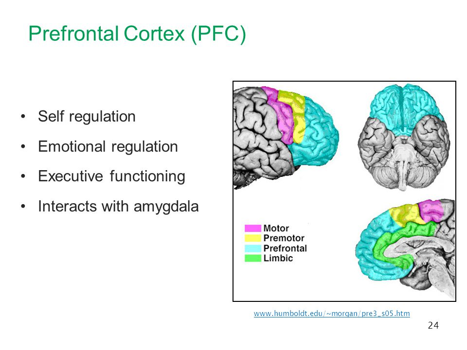 Prefrontal Cortex (PFC)