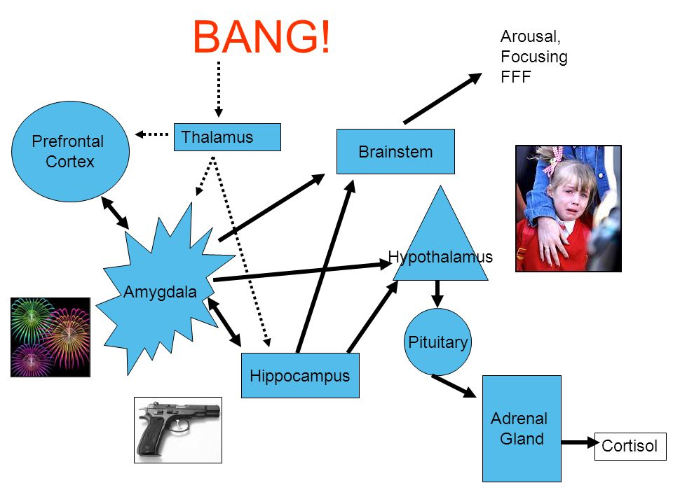 BANG! Arousal, Focusing FFF Prefrontal Cortex Thalamus Brainstem