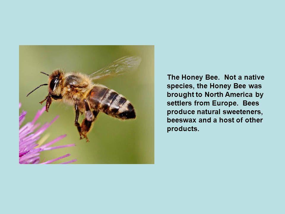 The Honey Bee.